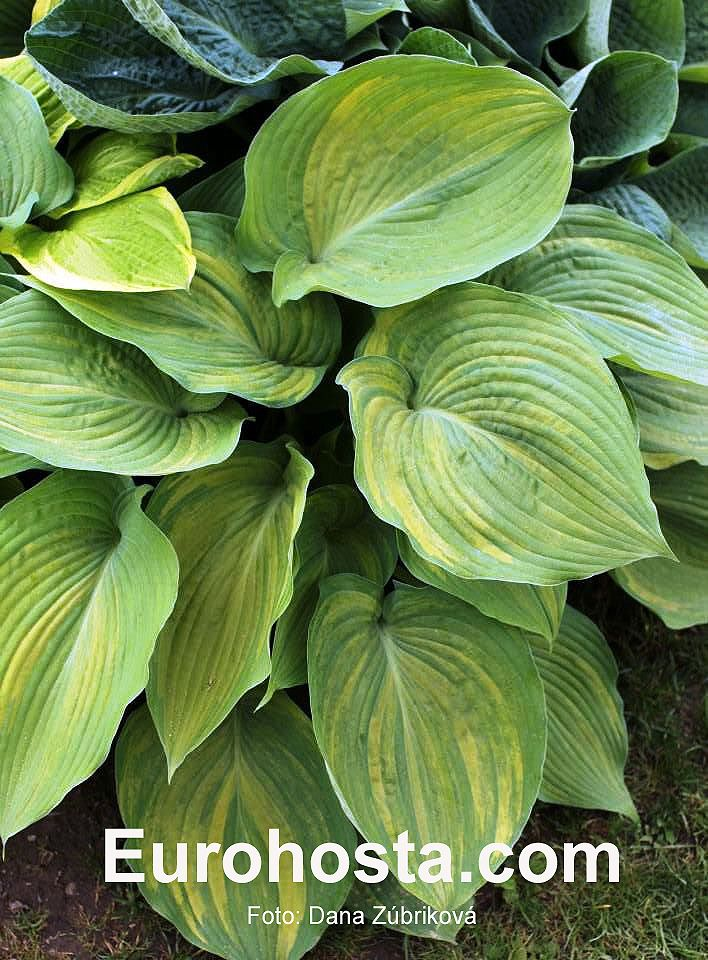 Hosta - Buffalo Bill.