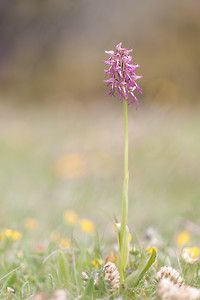 Orchis x beyrichii Orchis hybride Militaire x Singe