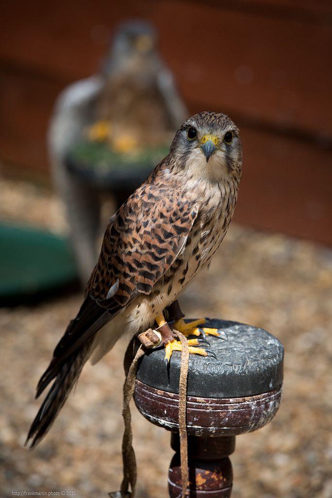 Falcon https://flic.kr/p/yHx4o9