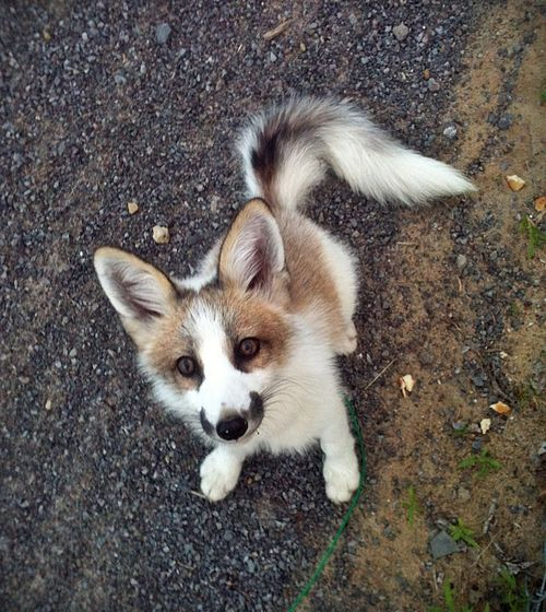 canadian marble fox - WHAT. So cute.