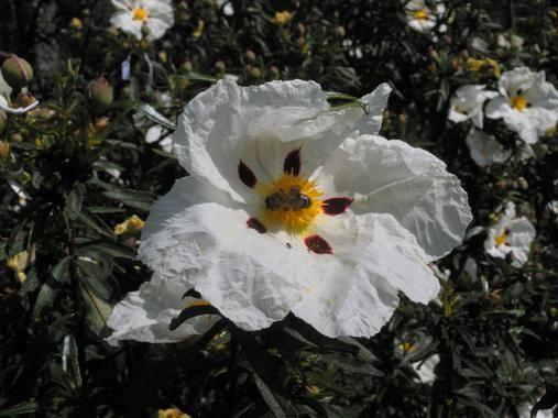 http://www.agenciasinc.es/Noticias/El-calentamiento-global-pone-en-riesgo-a-las-plantas-de-flores-grandes jaras cistus ladanifer