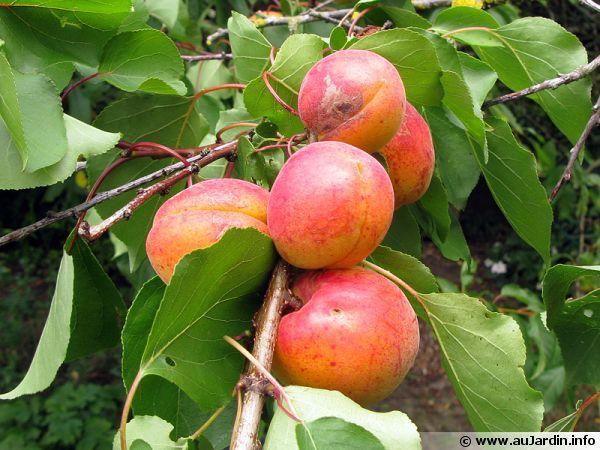 La taille des arbres fruitiers à noyaux