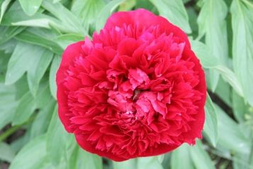 """Peonies """"Rubra Plena""""  The spring-planted Rubra Plena Peony bulb produces a long-lasting, big crimson flower with a wonderful fragrance.  Cardinal red double flower - becomes purplish with time"""