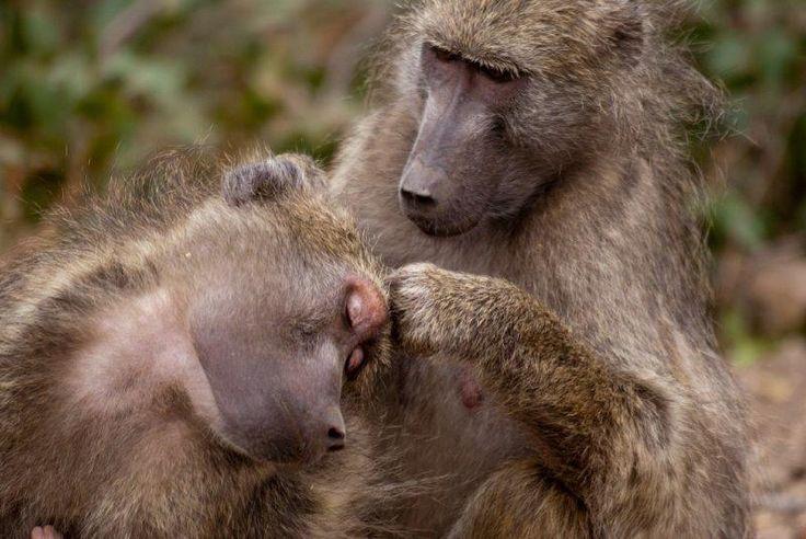 kruger national park baboons