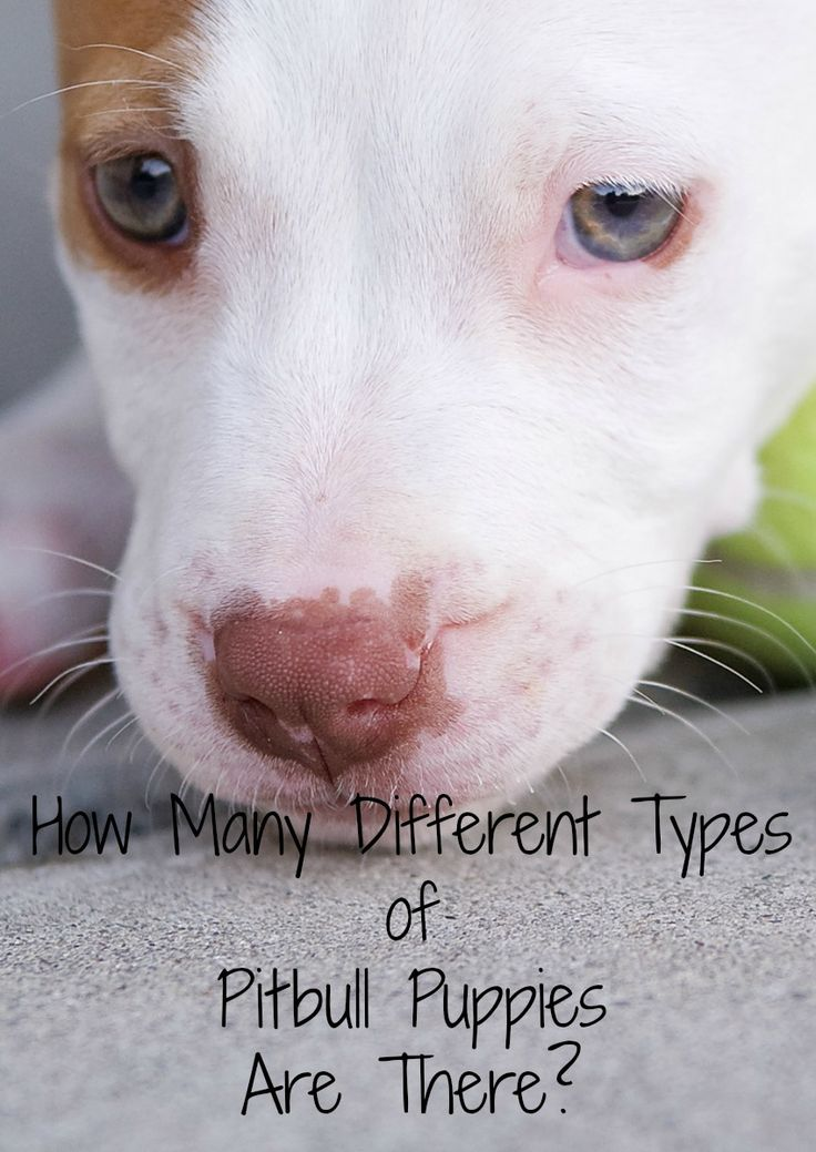 Thinking about getting a bully breed but confused over all the different types of pitbull puppies out there? Check out our guide to the sub-breeds!