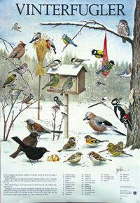 Vinterfugler - arter ved fôringsbrettet