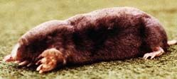 Moles in Lawn - Plant and Pest Diagnostic Laboratory, Purdue University, West Lafayette, Indiana, USA