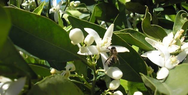 La flor de de azahar y sus propiedades medicinales. La flor de azahar posee propiedades medicinales que ayudan a calmar los nervios. Conoce más en torno a ella y úsala.