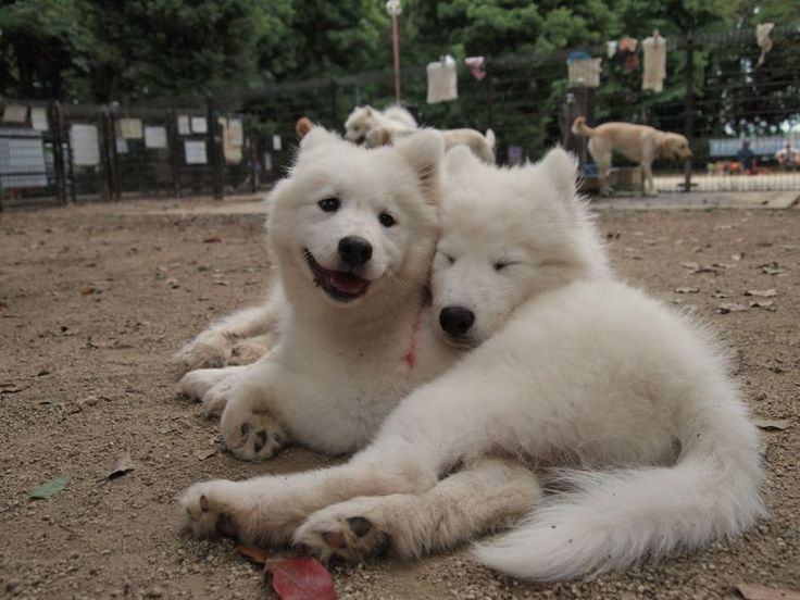 http://dogs.petbreeds.com/stories/5026/rare-cute-dog-breeds?utm_medium=cm The Samoyed is a large, purebred, polar-bear looking fluff ball that originated in Russia. These bundles of joy are cheerful, energetic, friendly, lively, and loyal. They are always either cream-colored, golden, or white in color. They are very active dogs, but fairly easy to train, and great with kids. They are so cute as puppies, you might just take the whole litter home.