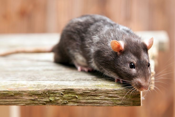 Black Rat Cafe - If you're looking for a unique experience while visiting San Francisco, then you might want to check out the Black Rat Cafe, where you can dine with rats!
