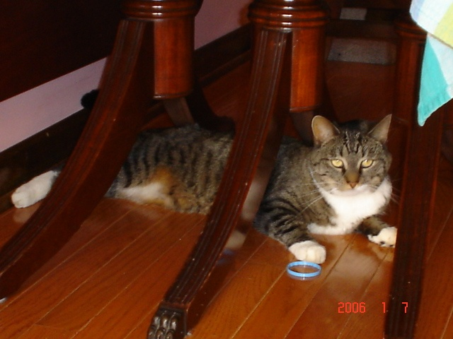 Mazy and her $100 cat toys!!!  Milk jug rings.....she loved them!