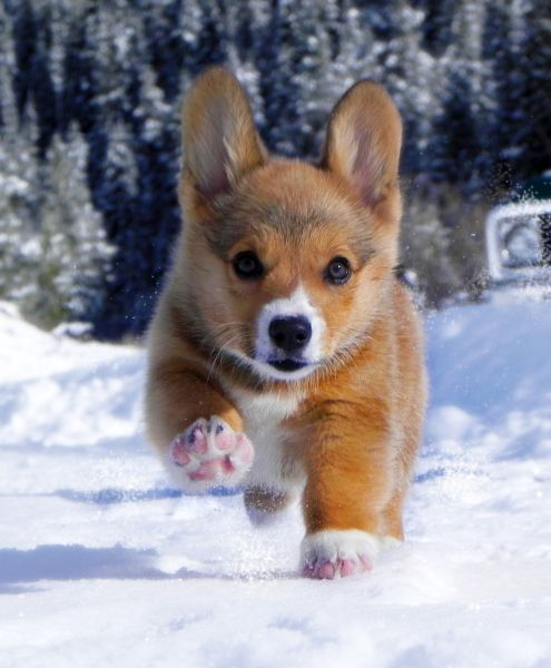 """I think I love you"" pembroke welsh corgi Puppy Dog Puppies Hound Dogs"