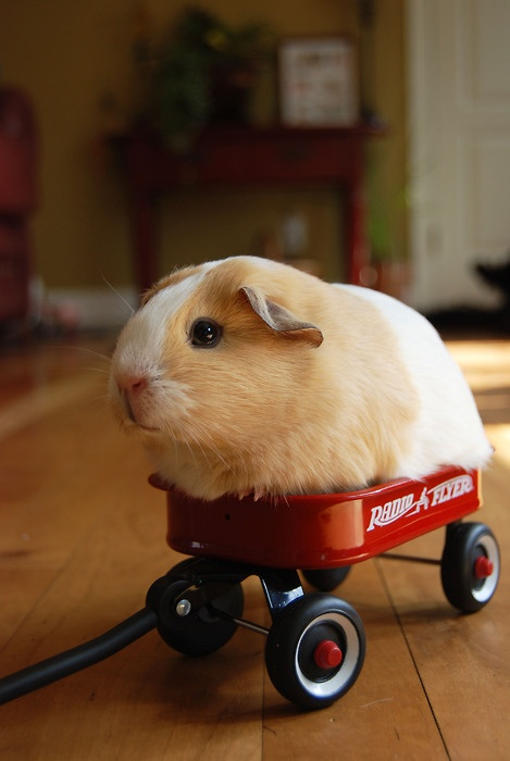 Guinea pig in wagon