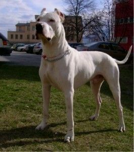Omg I Want One Of These Sweethearts Dogo Argentino Puppies