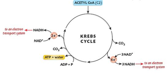 Krebs Cycle Diagram Easy