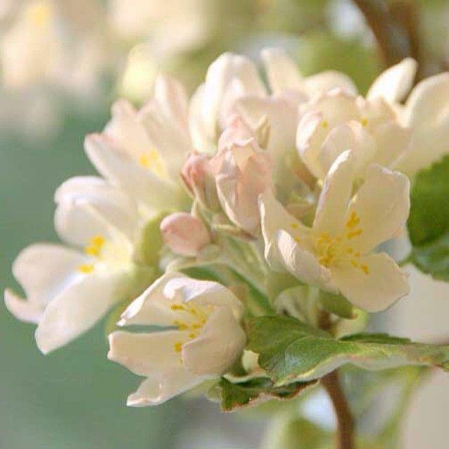 Яблони в цвету картинки с добрым утром