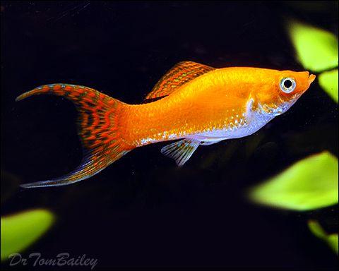 Google Image Result for http://www.aquariumfish.net/images_01/molly_gold_lyre_fem_100617a2_w0480.jpg