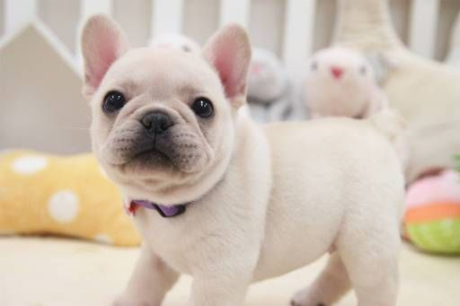 French Bulldog puppy for sale in SAN JOSE, CA. ADN-59059 on PuppyFinder.com Gender: Female. Age: 6 Weeks Old #Buldog