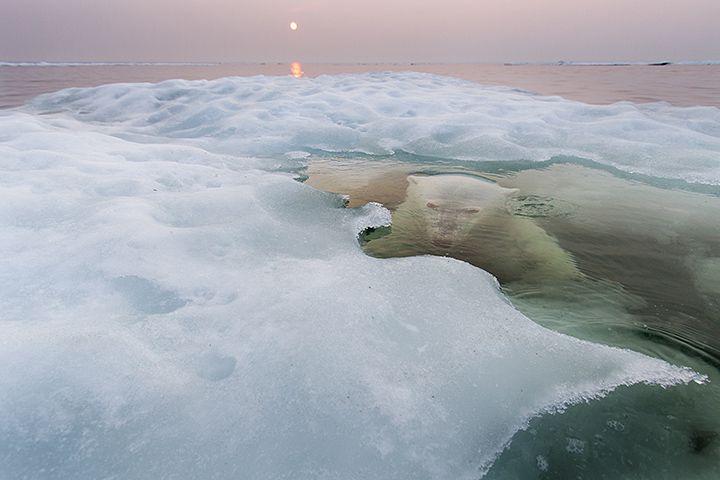 2013 BBC Wildlife Photographer of the Year – Animals in Their Environment. Polar Bear lurking beneath melting sea ice on Hudson Bay, Canada. http://worldfoto.blogspot.com.es