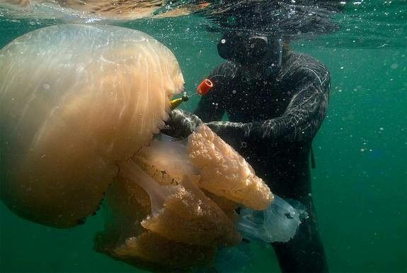 Água-viva gigante