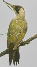 Pic vert  European green woodpecker