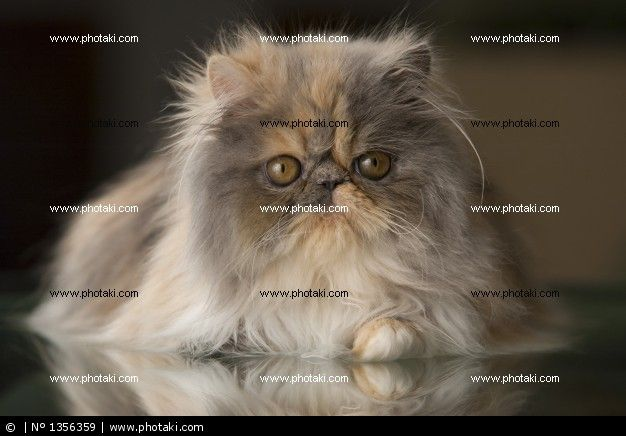 http://www.photaki.com/picture-persian-breed-cat_1356359.htm