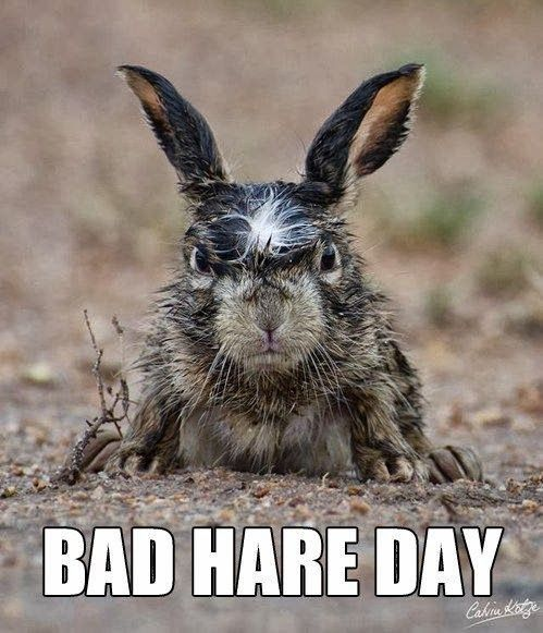 Angry wet rabbit scowling | ANIMALS | Pinterest | Pictures ...