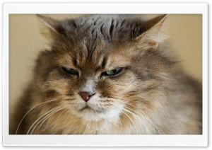 Grumpy Cat HD Wide Wallpaper for Widescreen