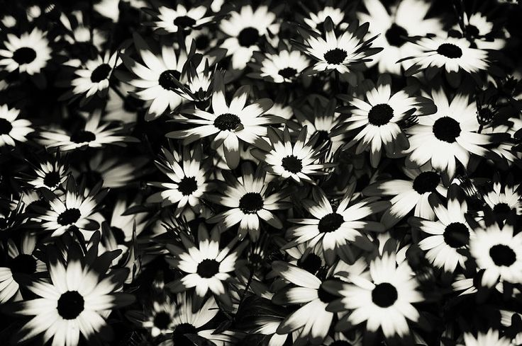 Dip Dyed Daisies. Black And White by Jenny Rainbow