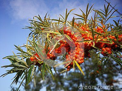 Sea buckthorn vitamin from the noth