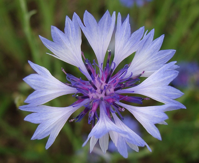Close-up, blue cornflower, aka bachelor's button by Martin LaBar (going on hiatus), via Flickr