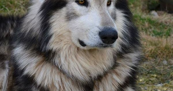 Dogspuppiesforsalecom liked | Northern Inuit Dog. Bred to look like a wolf this is the breed they used on Game of Thrones for the direwolves. Getting a dog or a puppy as a new addition to your family is an excellent decision! You're adding another member that can provide lots of love and enjoyment! This is a relationship you'd want to make sure that you're doing right the first time around. You'll need to find out what makes your dog happy what are the things to look out for and basically…