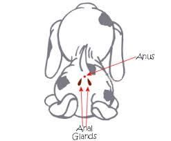 Dogs Anal gland Is your dogs butt itch  Find out more dogsenvy.com