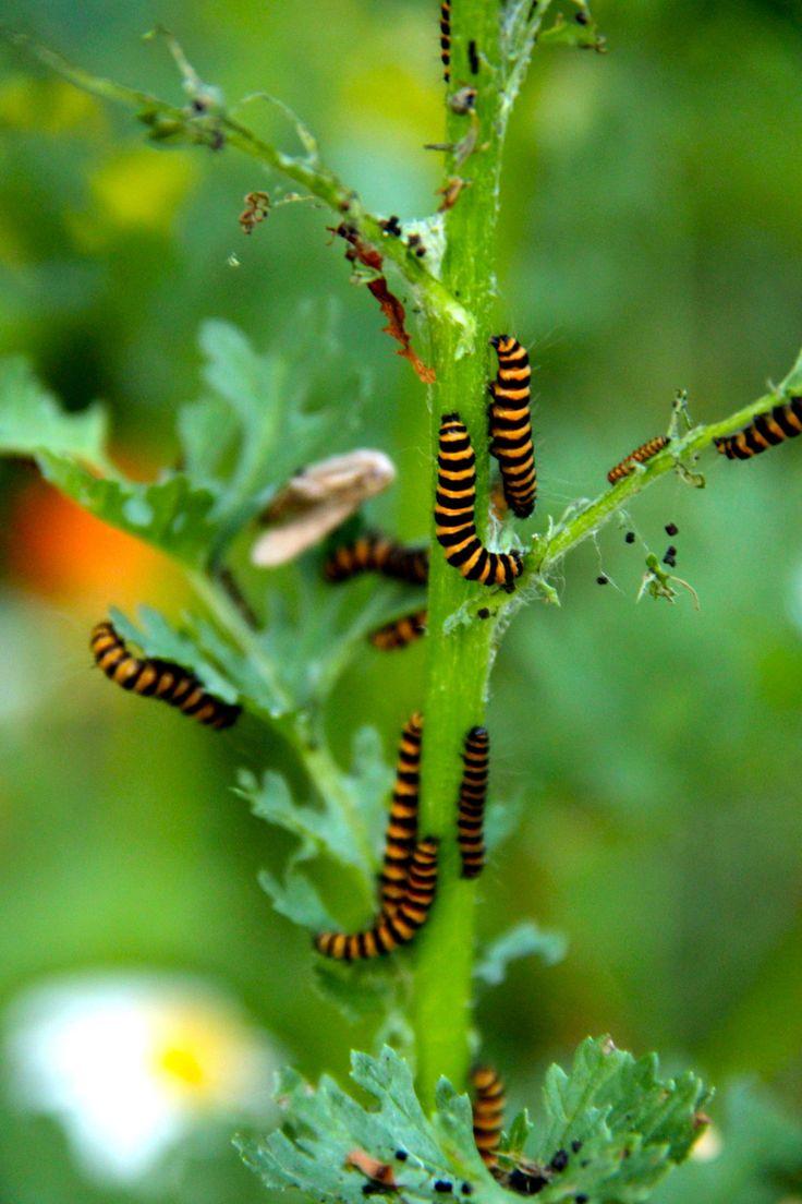 best 25 monarch butterfly habitat ideas on pinterest milkweed