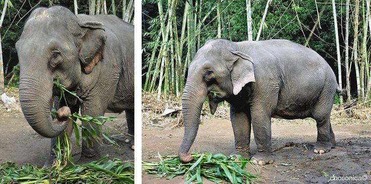 Los elefantes tailandeses en Mae Taeng.