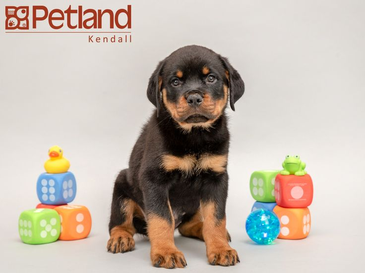 Petland Florida Has Rottweiler Puppies For Sale Interested In