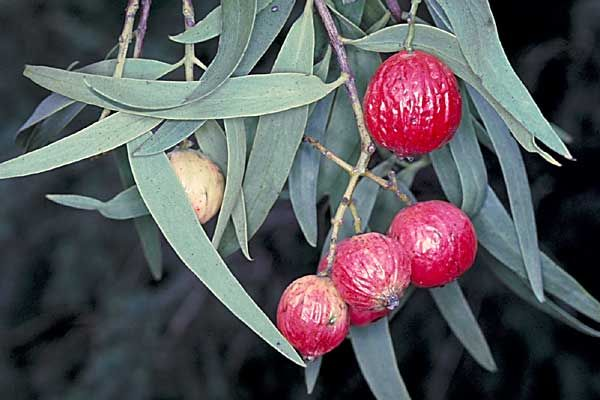 Santalum acuminatum, el Quandong del Desierto, es una planta de Australia en la familia de los sándalos o Santalaceae. Se le conoce como qua...