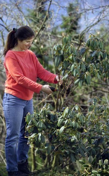 Einen Rhododendron muss man normalerweise nicht schneiden. Verkahlte Sträucher werden durch eine Verjüngung mit der Gartenschere aber wieder schön kompakt und dicht.
