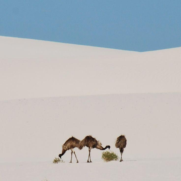 Emus on sand dunes in Western Australia. Bucket list stuff! *** /// Emuja Länsi-Australian road tripillä. Lue koko kertomus blogista! | Muuttolintu.com