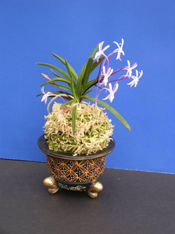 neofinetia falcata - Google Search- amazing fragrance rivals neostylis