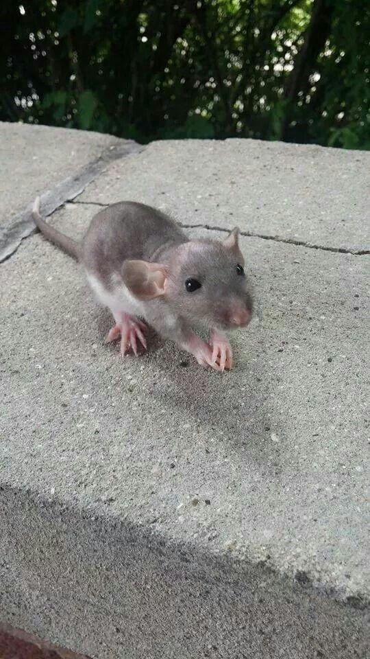 Delicate little baby dumbo rat.