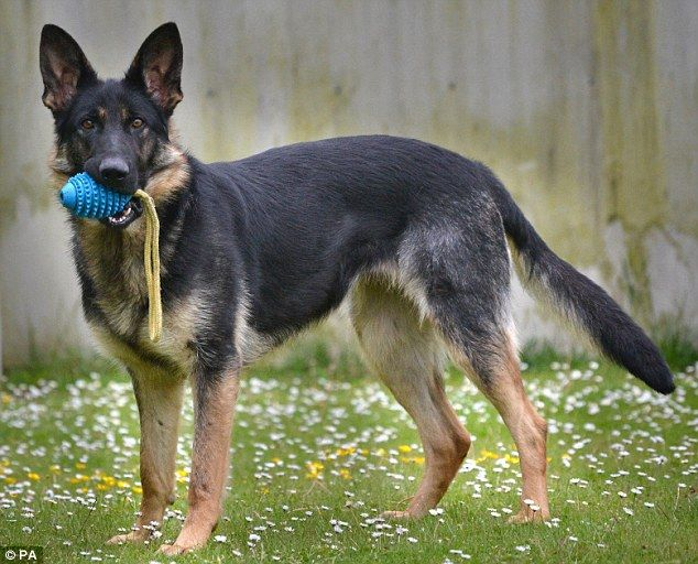 All bark but no bite! Trainee police dog fails to make the ...