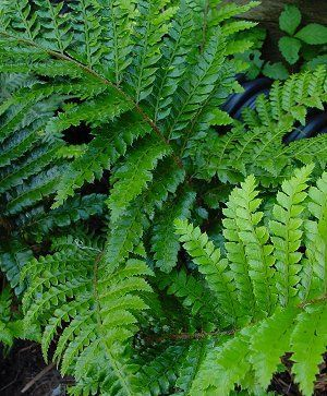 """Polystichum polyblepherum Tassel fern Meaning """"many eyelashes"""" polyblepherum describes the fuzzy stems of this glossy deep green garden fern. Dependable and hardy, it lends elegance to the shade border and combines well with Carex, Heuchera and other ferns. Evergreen in warmer zones.  12-18 Inches  Polystichum polyblepherum Growing and Maintenance Tips Grow in part or full shade in well-drained soil rich in organic matter. Water well on planting and regularly until established. Drought…"""