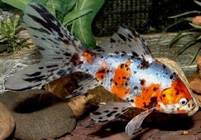 Shubunkin Goldfish.  I recently acquired one of these children.  LOVE it!!!  I have two now!!!