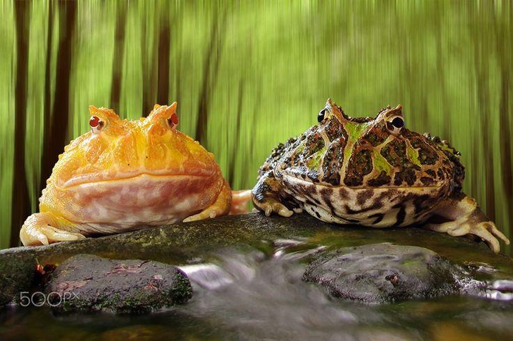 pacman albino & gredd pacman, pacman, frog, pacman frog, - null