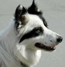 colour-headed white border collie with an amazing split face! please clone your dog for me!