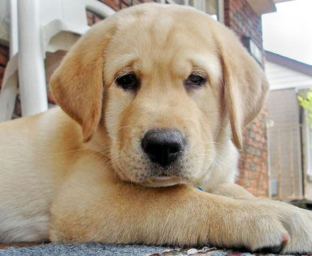 pretty darn cute: Awesome Dogs, Labrador Retriever, Dogs Training, Doggies Dogs, Puppies Faces, Puppies Love, Labs Puppies, Cute Dogs, Golden Retriever