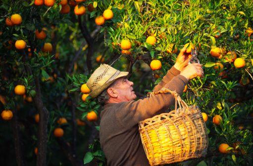Stock Photo : Italian orange farmer picking fruit