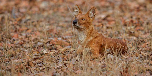 O CÃO-SELVAGEM-ASIÁTICO(Cuon alpinus) é uma espécie da família Canidae também conhecido como dhole, ou raposa-asiática-dos-montes, cão-selvagem-hindu, cão-vermelho, cão-asiático, e caçador-de-assobio, já que produz um som semelhante a um assobio.  É um animal ativo na período da manhã. Seu corpo mede em torno de 90 cm e os animais que vivem na Rússia, que tendem a ser maiores, podem chegar a pesar de 12 a 20 Kg.