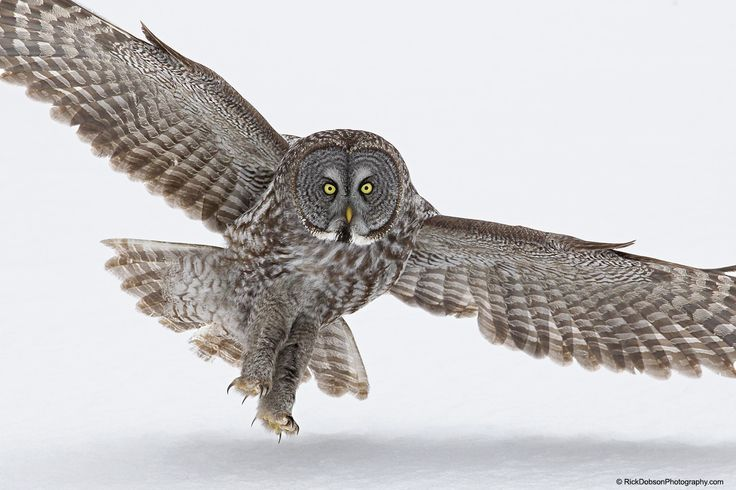 Great Grey Owl Incoming Landing - Image of the Great Grey Owl taken as he was landing on a local frozen river.